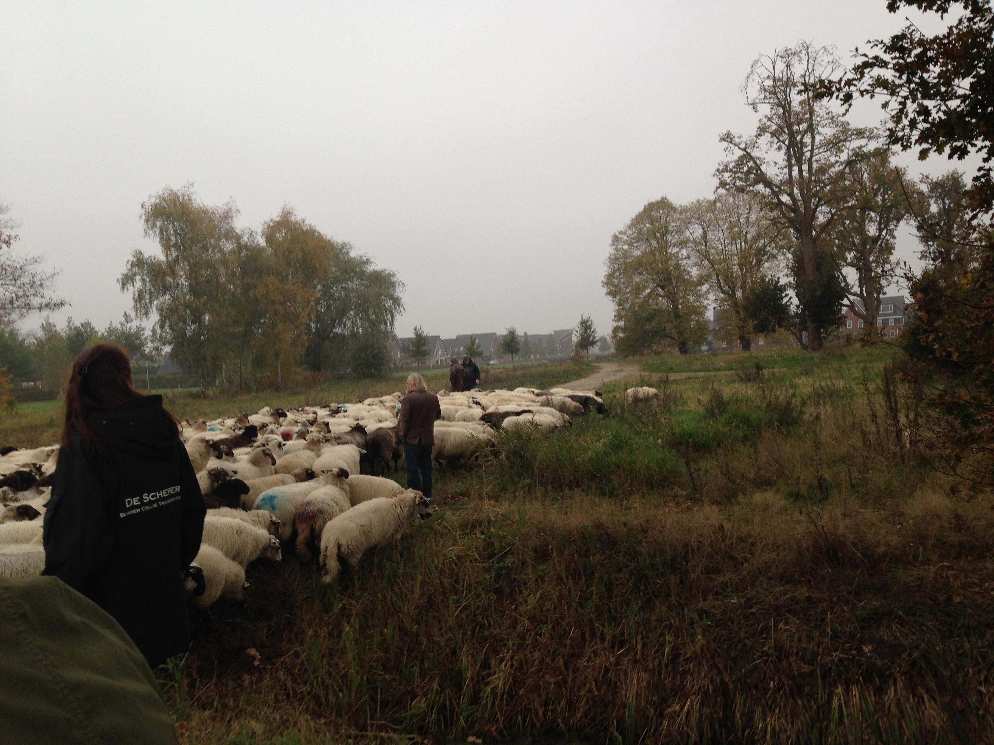 Photo of Zwolse schaapskudde vertrekt weer uit Stadshagen