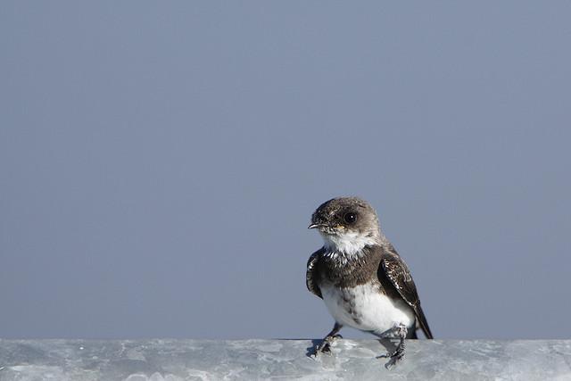 CC Flickr.com - Alan Vernon Bank Swallow (Riparia riparia)