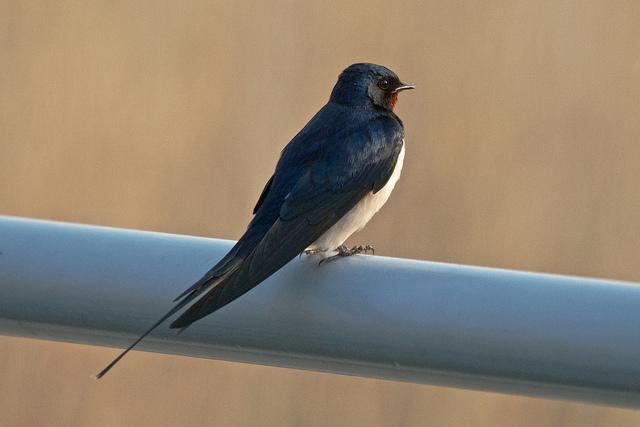 CC Flickr.com Frans Schouwenburg boerenzwaluw - Barn Swallow