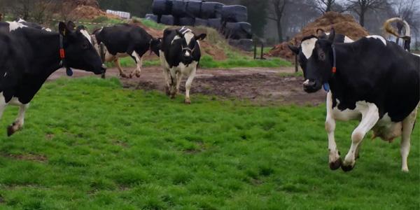 Photo of [UPDATE] [VIDEO] Koeien springend het eerste gras tegemoet bij koeiendans Berkum