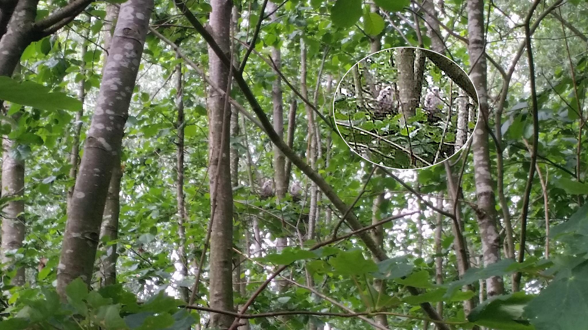 Sperwers op nest in Zwolle - in de inzet iets uitvergroot