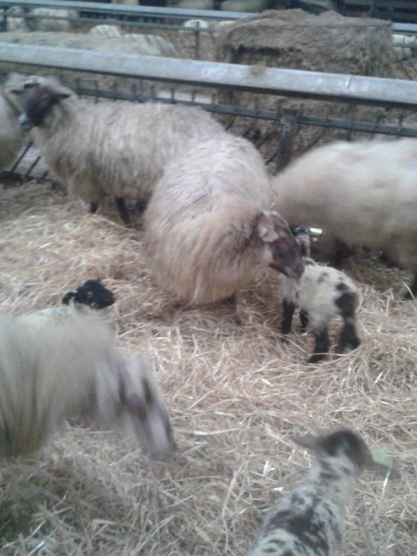 Lammetjes Zwolse kudde