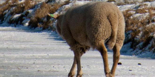 Photo of Brandweer haalt schapen van ijs Westenholter Kolk