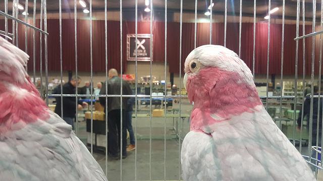 Photo of 'Uit Californië om vandaag vogeltjes te kopen in Zwolle' – Zwolse Vogelmarkt