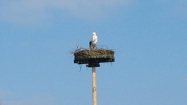 Ooievaars zijn weer terug op hun nest bij de Schellerhoeve in Zwolle