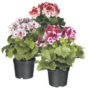 De Franse geranium is misschien wel het mooiste type geranium dat er is. Je herkent ze aan de grote, trompetvormige bloemen en de lekker kruidig geurende bladeren.