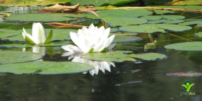 Mini waterlelies zijn erg decoratief en in vele vijvers probleemloos toepasbaar.