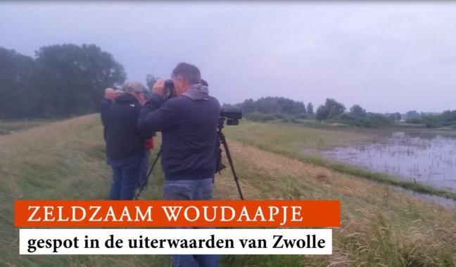 Photo of Zeldzaam Woudaapje gespot in uiterwaarden bij Zwolle