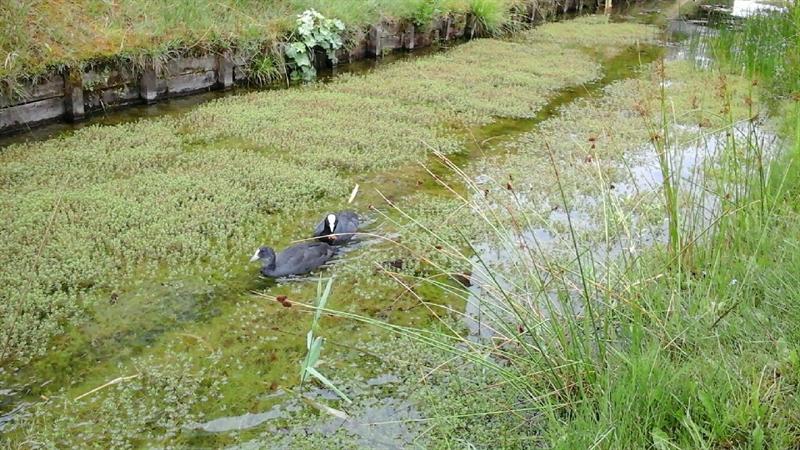 Photo of Exotische waterplanten zorgen voor overlast