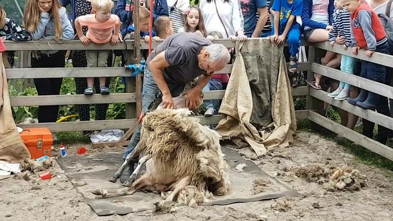 Photo of ► 600 schapen van Zwolse kudde kregen een Pinkster scheerbeurt