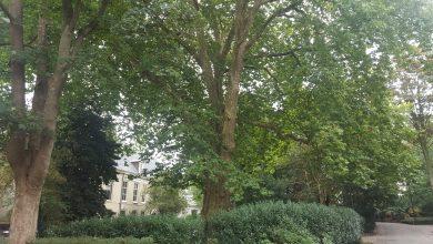 Photo of 7 meter dikke plataan Potgietersingel één van de mooiste bomen