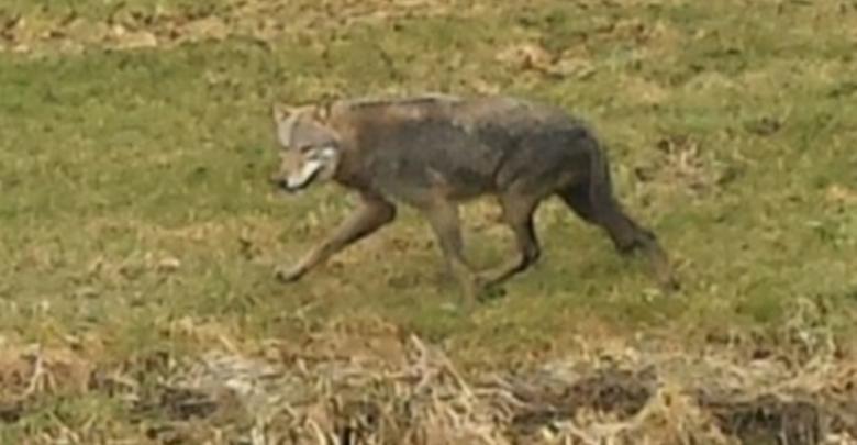 Photo of Video – Wolf gezien in Mastenbroek