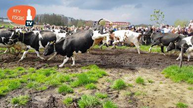 Photo of Video – Koeien springen naar eerste malse gras bij boer Harold van Vilsteren