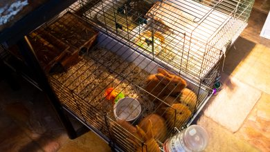 Photo of Stichting Flappus vangt veertien hamsters op