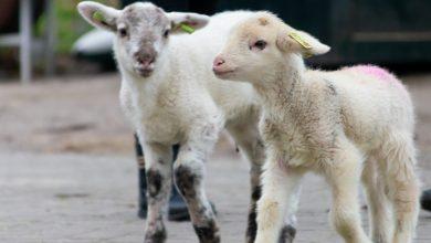 Photo of Nieuwe 'bewoners' voor de Klooienberg; Piet en Miep