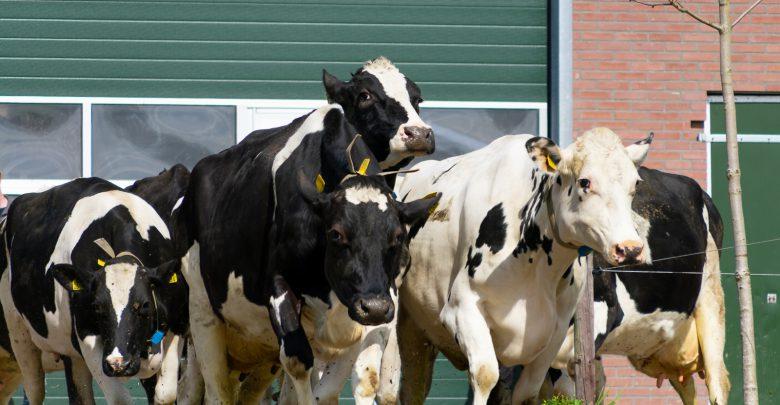 Photo of In beeld: Koeien van boer Harold weer dansend de wei in