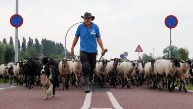 Photo of Stadshagen heeft de schaapjes weer op het droge