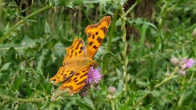 Photo of Het gaat dit jaar niet zo goed met vlinders