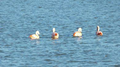 Photo of Flamingo's in uiterwaarden Engelse Werk en Vreugderijkerwaard