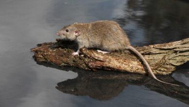 Photo of Meldingen over bruine ratten horen niet bij het waterschap maar bij de gemeente