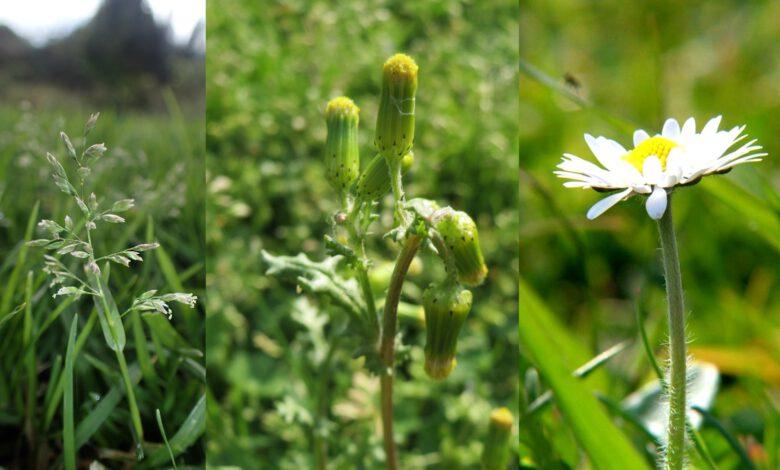 Photo of Madeliefje, Straatgras en Klein kruiskruid meest gespotte bloeiende planten in Zwolle