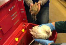 Photo of 2 kuikens gedumpt bij Kinderboerderij Wezenlanden