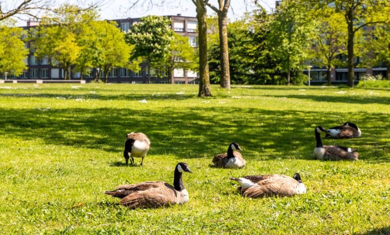Photo of Ook de ganzen in het Twistvlietpark genieten van het weer