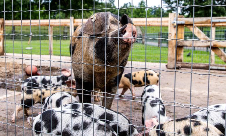 Photo of Beschuit met muisjes, want varken Flokkie is bevallen