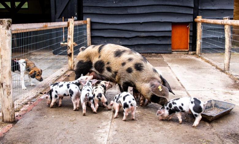 Photo of Biggetjes geboren kinderboerderij de Wezenlanden