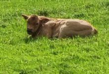 Photo of Jersey koeien beschermen graslandschap
