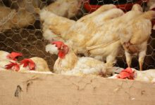 Photo of Vogelgriepgeval in Zeewolde; ophokplicht pluimvee in hele land