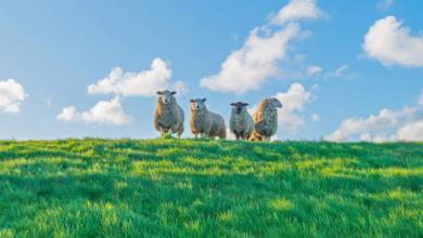Photo of Geen schapen op de dijk tijdens stormseizoen